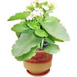 Kalanchoe Plant