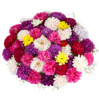 Chrysanthemums Selection